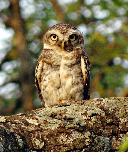 Spotted Owlet Bird Fowl Athene Brama Owl Nocturnal