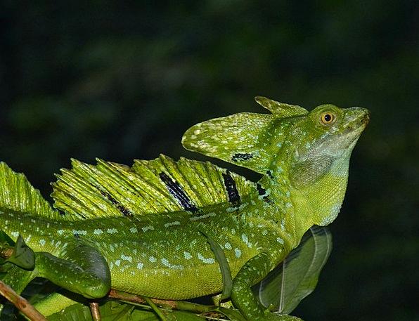 Lizard Animal Physical Basilisk Green Reptile Cent