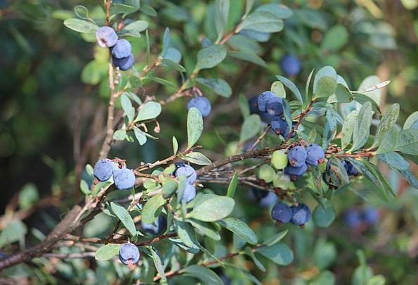 Blueberry Wild Berry Blueberry Twig Twig Stick