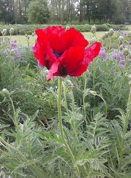 Early Summer Floret Flower Bed Flower Red Bloodsho