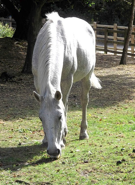 Horse Mount Stallion Mare White Snowy Equine Grazi