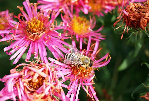 Bee Floret Aster Flower Honey Bee Insect Plant Her