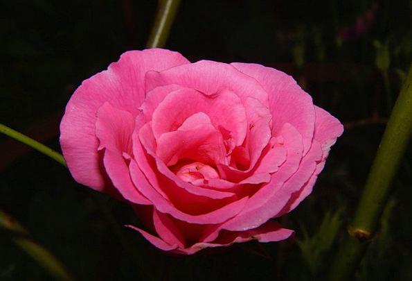 Rose Design Floret Pink Flushed Flower Summer Stra