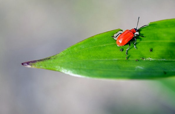 Rust-Red Dust Beetle Flour Insect Animal Bug Physi