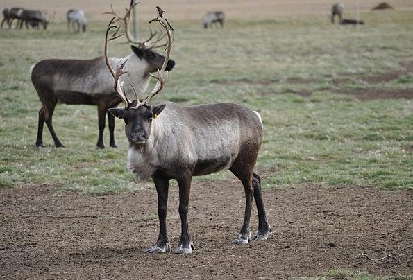Caribou Landscapes Nature Animals Faunae Reindeer
