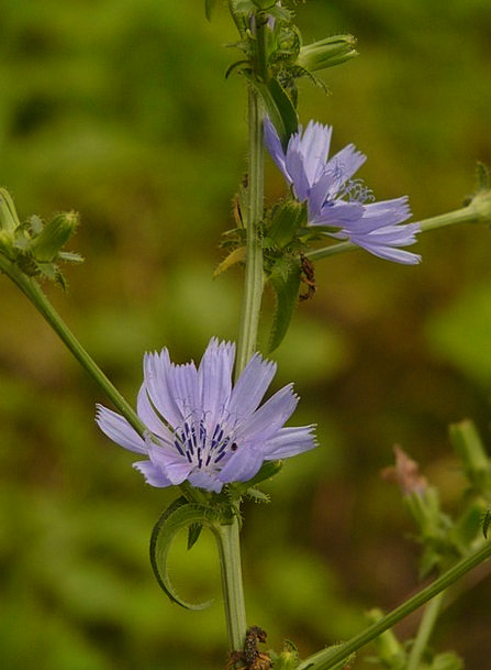 Common Chicory Landscapes Nature Cichorium Intybus