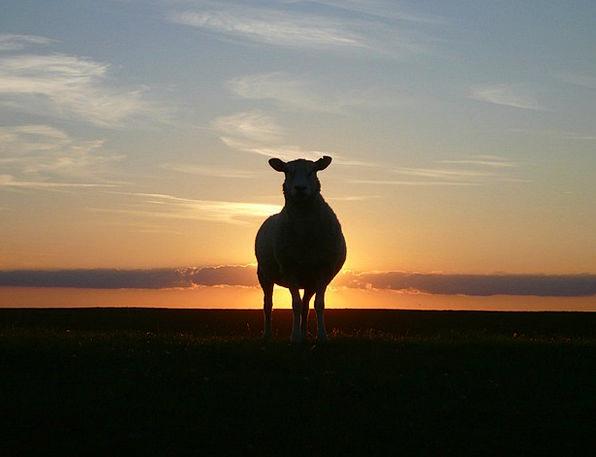 Sunset Sundown Vacation Ewe Travel Dike Bank Sheep