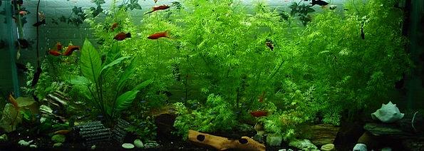 Aquarium Angle Ornamental Fish Fish Aquatic Neon F