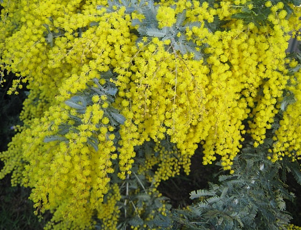 Australia Landscapes Nature Native Innate Wattle P