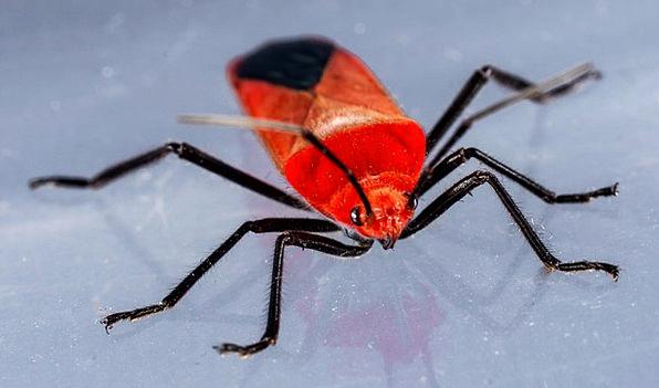 beetle insect bug red beetle macro instruction pixcove