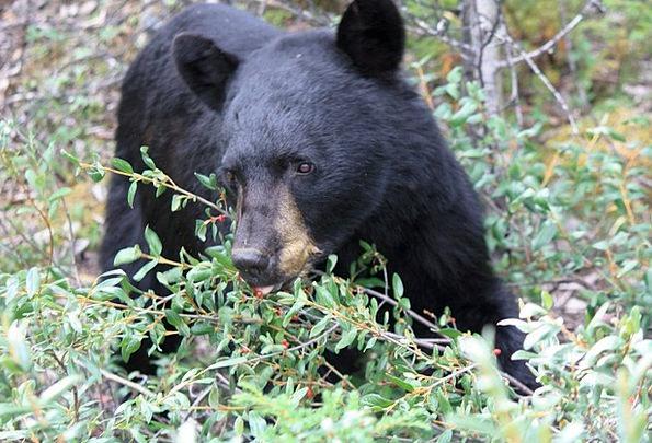 Jasper Black Bear Jasper National Park Bear Tolera