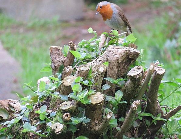 Robin Bird Fowl Erithacus Rubecula European Robin