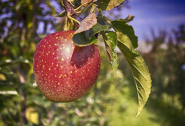 Apple Sapling Improvement Development Tree Orchard