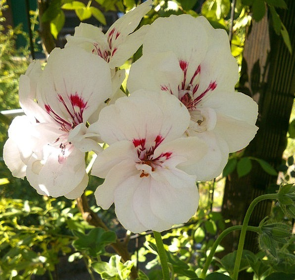 Geranium Plot Flowers Plants Garden