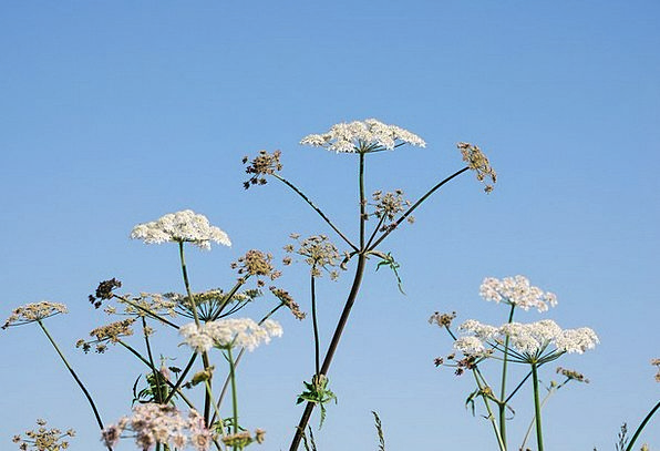Hogweed Floret Sky Blue Flower White Snowy Flowers