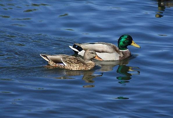 Mallards Birds Bird Ducks Dears Mallard Male Malla