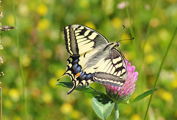 Swallowtail Butterfly Papilio Machaon Swallowtail