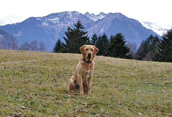 Dog Canine Meadow Field Labrador Sitting Sedentary