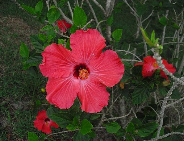 Hibiscus Landscapes Bloodshot Nature Flower Floret