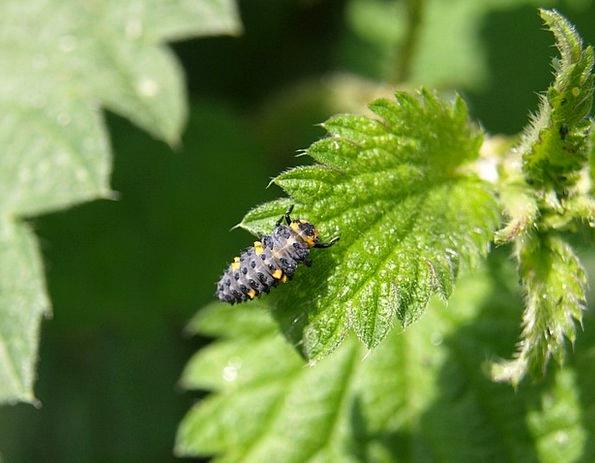 Marienkäfer Larva Grub Beetle Larva Ladybug Insect