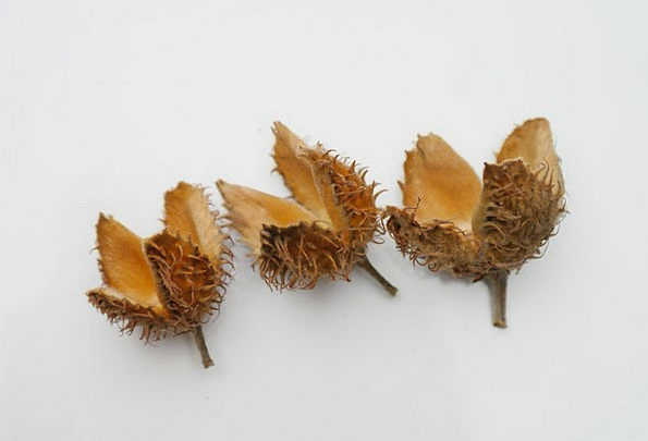 Beech Nuts Sleeves Covers Fruit Pods Shaggy Rough