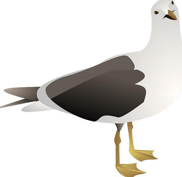 Gull Bird Fowl Seagull Sea Marine Wildlife Avian S