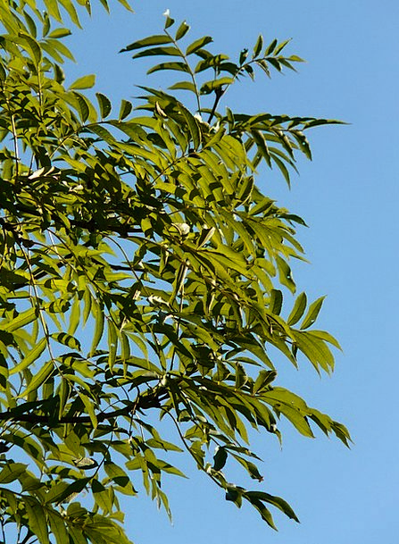 Leaves Greeneries Residue Tree Sapling Ash Branche