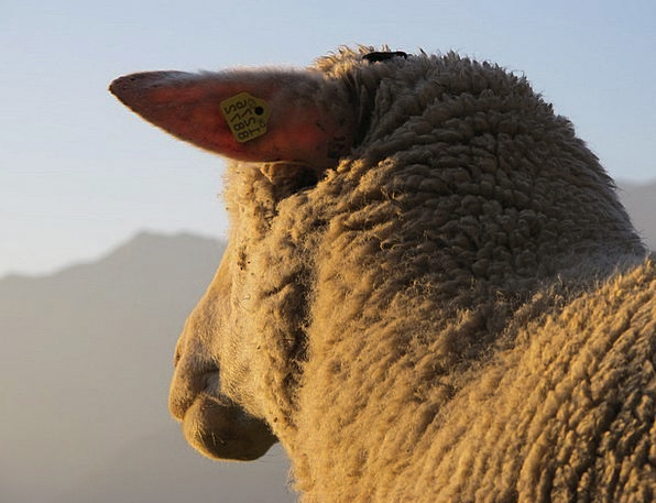 Sheep Ewe Lighting Illumination Evening Sun Animal