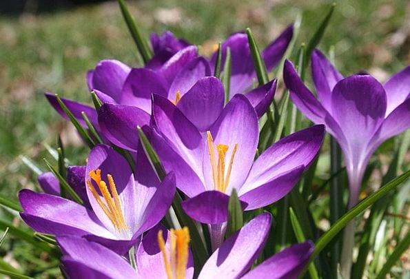 Crocus Landscapes Coil Nature Purple Elaborate Spr