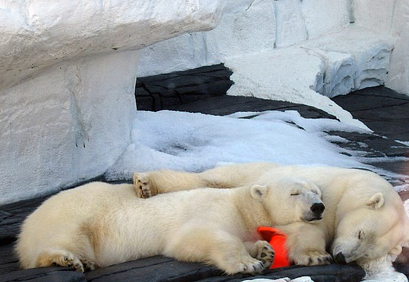 Polar Glacial Tolerates Sleep Slumber Bears Nap Do