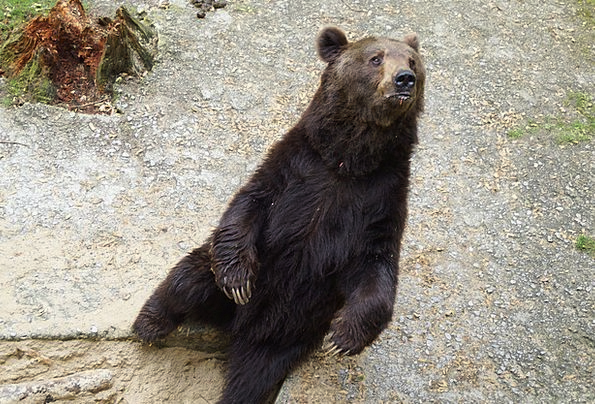 Bear Tolerate Predator Marauder Wild Animal Strong