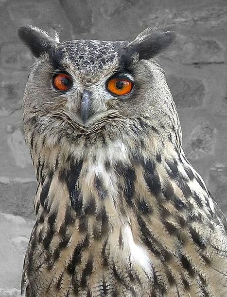 Bird Fowl Quarry Owl Prey Raptor Feathers Downs Or