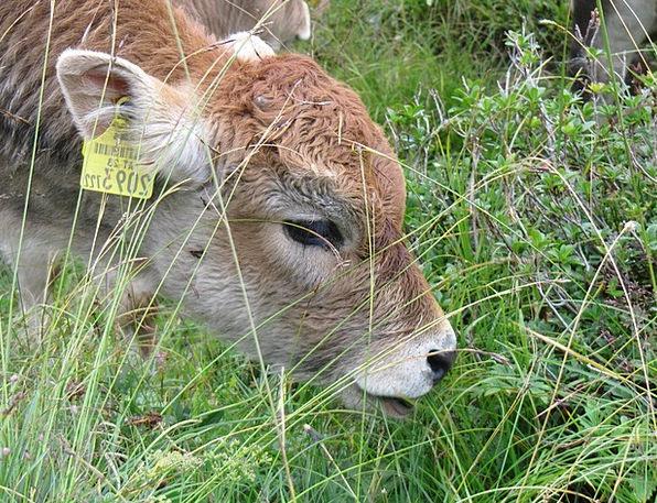 Calf Animal Physical Little Calf