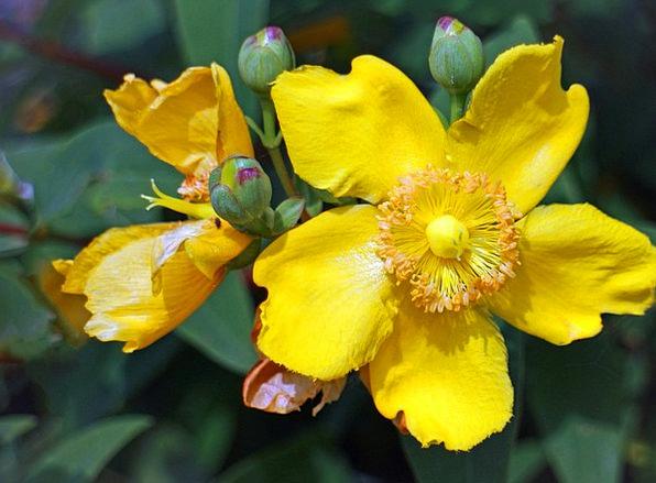 Großblumiges St John'S Wort Flower Floret St John'