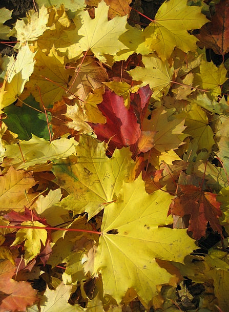 Maple Landscapes Woodland Nature Leaves Greeneries