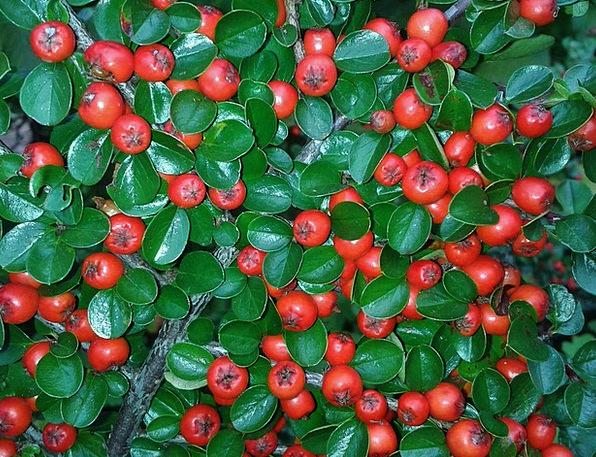 Cotoneaster Landscapes Nature Red Bloodshot Berrie