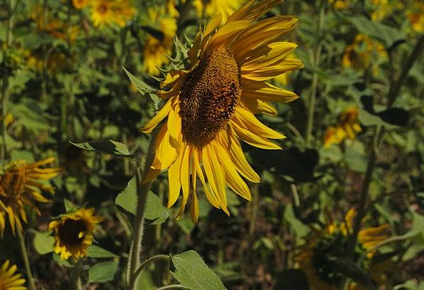 Sunflower Landscapes Floret Nature Nature Countrys