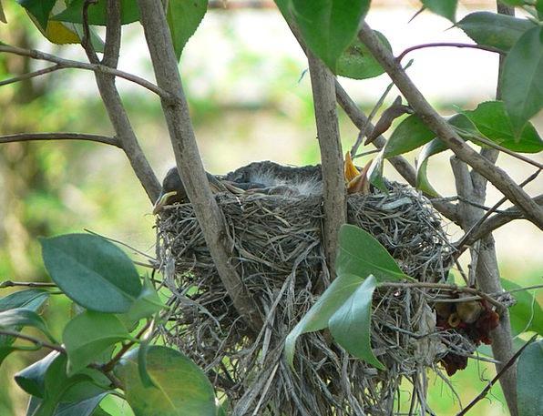 Robin'S Nest Landscapes Nature Bird'S Nest Baby Ro