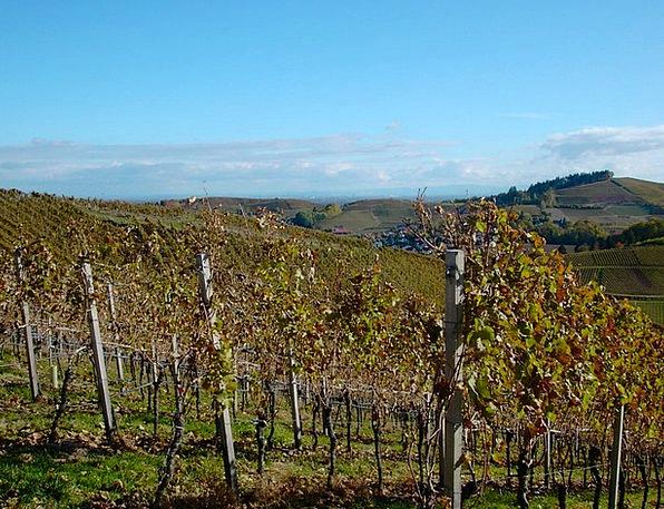 Vineyard Winery Cheerful Autumn Fall Bright Golden