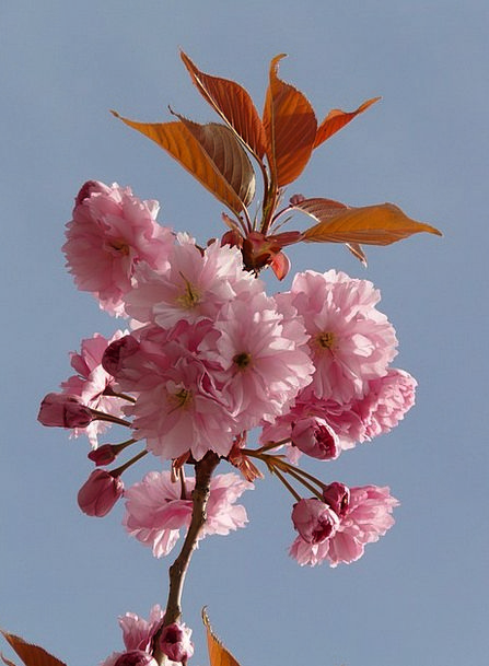 Ornamental Cherry Traffic Transportation Bud Sprou