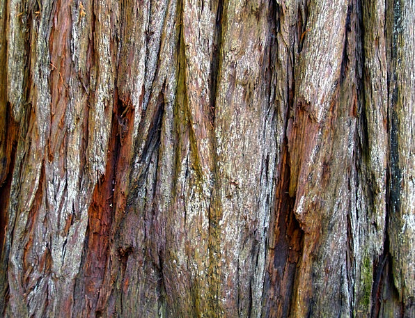 Red Wood Landscapes Bay Nature Tree Sapling Bark T