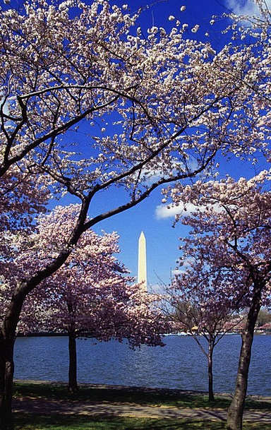 Washington Dc Landscapes Nature Blooms Flowers Jap