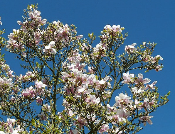 Tulip Magnolia Sapling Bush Scrubland Tree Magnoli