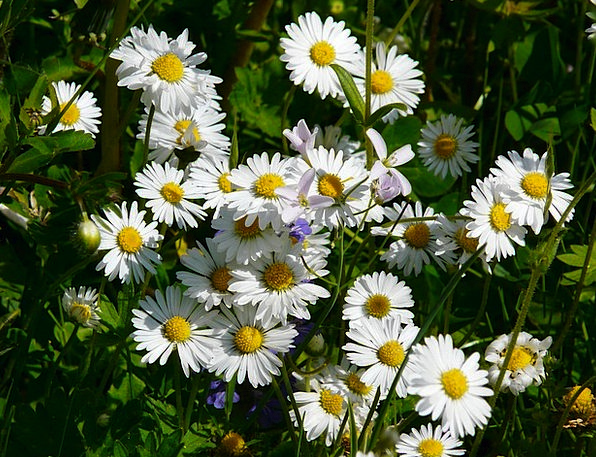 Daisy Field Wildflowers Weeds Meadow Spring Coil W