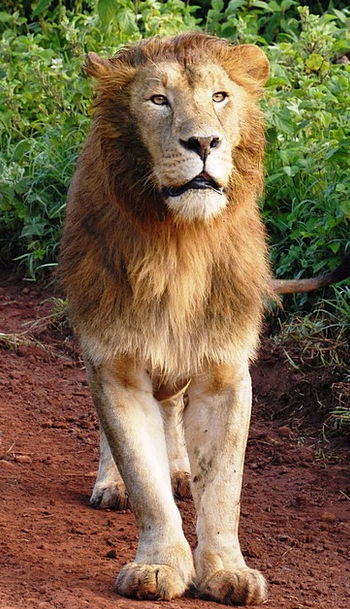 Lion Cat Of Prey Big Cat Fauna Wildcat Ngorongoro