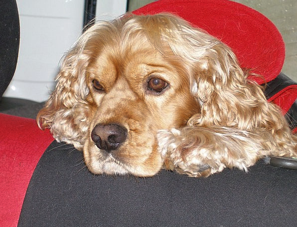 Cocker Spaniel Pet Domesticated Dog Breed Animal P