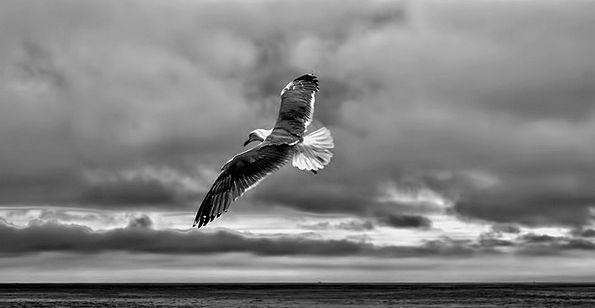 Gull Fly Hover Sea Gull Bird Fowl Nature Seagull C