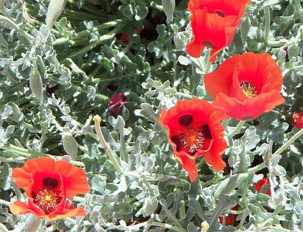 Poppies Flowery Plants Florae Floral Botany Natura