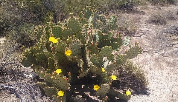 Cactus Flower Floret Cacti Desert Reward Desert Fl