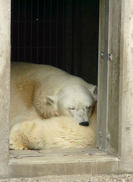 Polar Bear Menagerie Fur Hair Zoo Sleep Slumber Cr